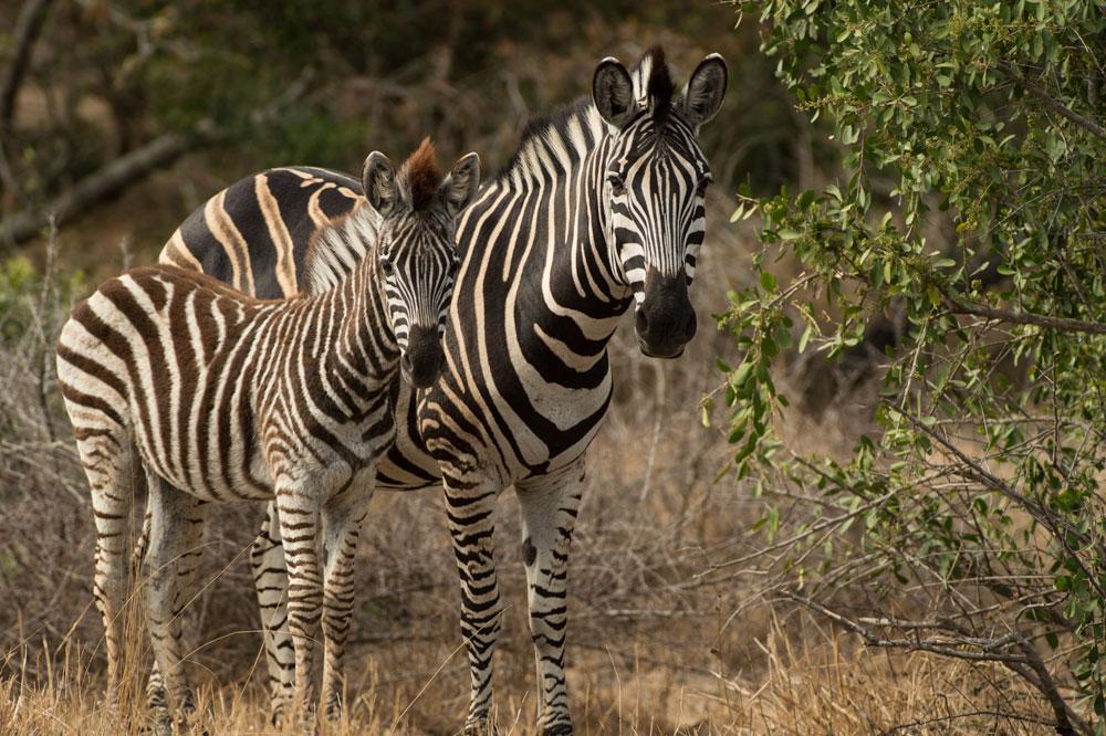 Ellusive Zebra